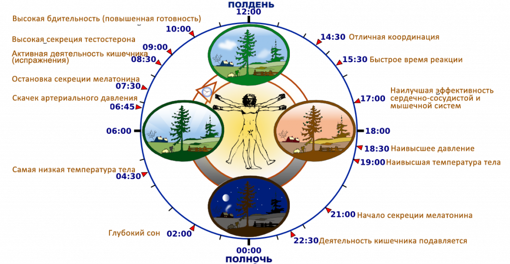 Биологические часы человека, активность органов по часам