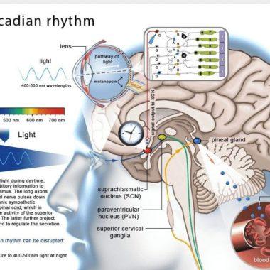 ЦИРКАДНЫЕ РИТМЫ что это такое и как настроить свои «биологические часы» самостоятельно