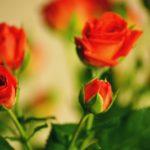 Сказ первый. Аленький цветочек.